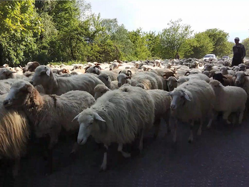 Schafe Herde Straße Telavi Georgien