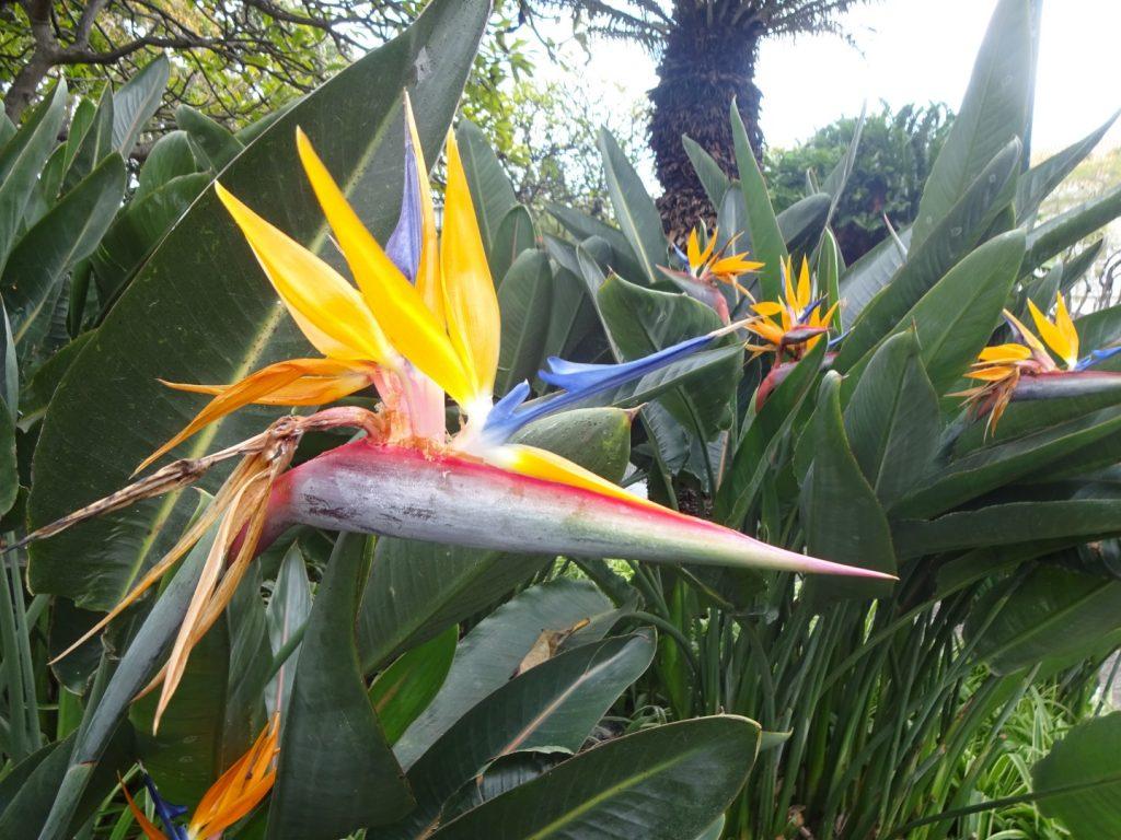 Estrelicia Pflanze Bird of Paradise Madeira