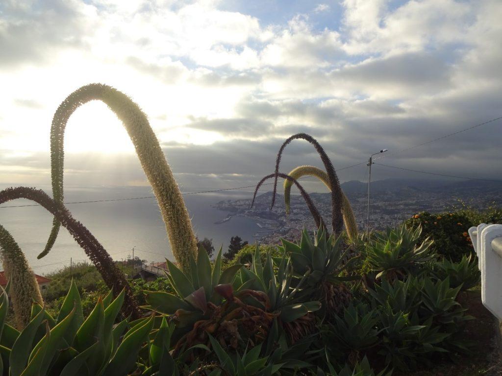 Swan Neck Agave hängende Pflanze Madeira