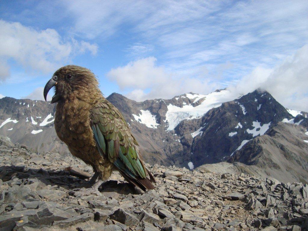 Kea Vogel Avalanche Peak Südinsel Neuseeland