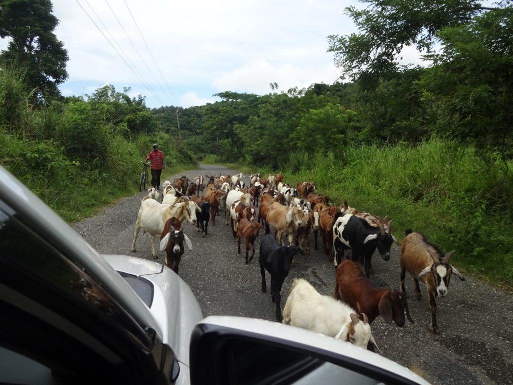 Ziegen Herde Jamaika