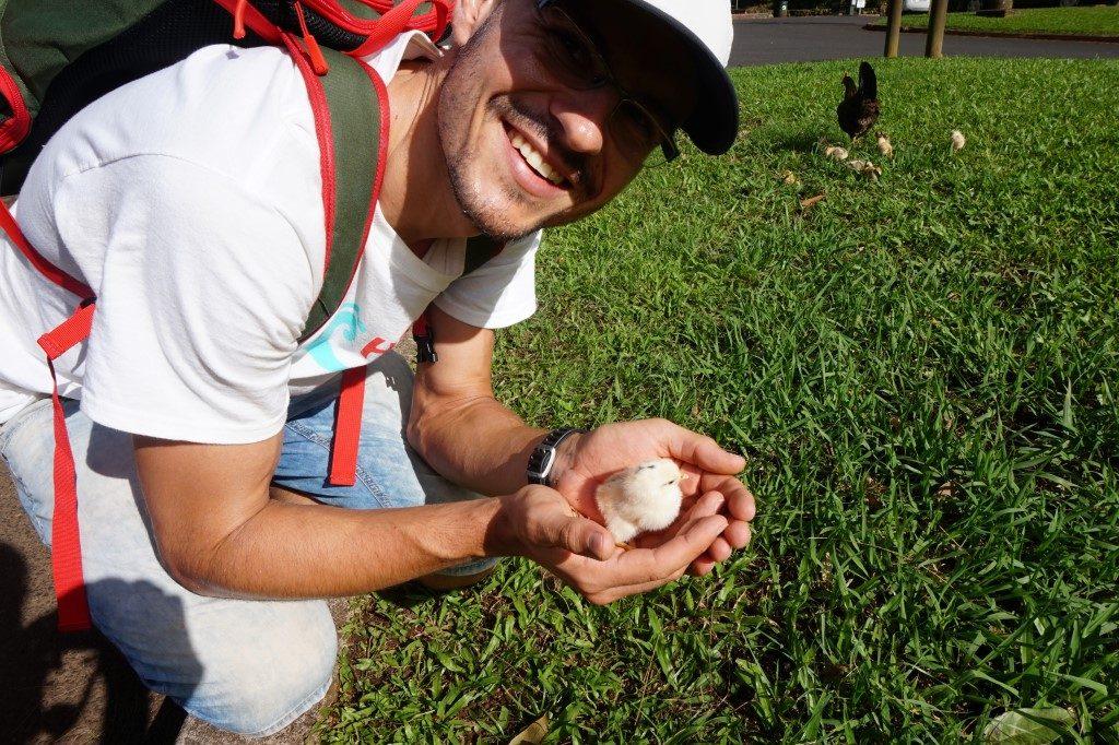 Küken fangen Huhn Hühner Nuuanu Pali Lookout Oahu Hawaii