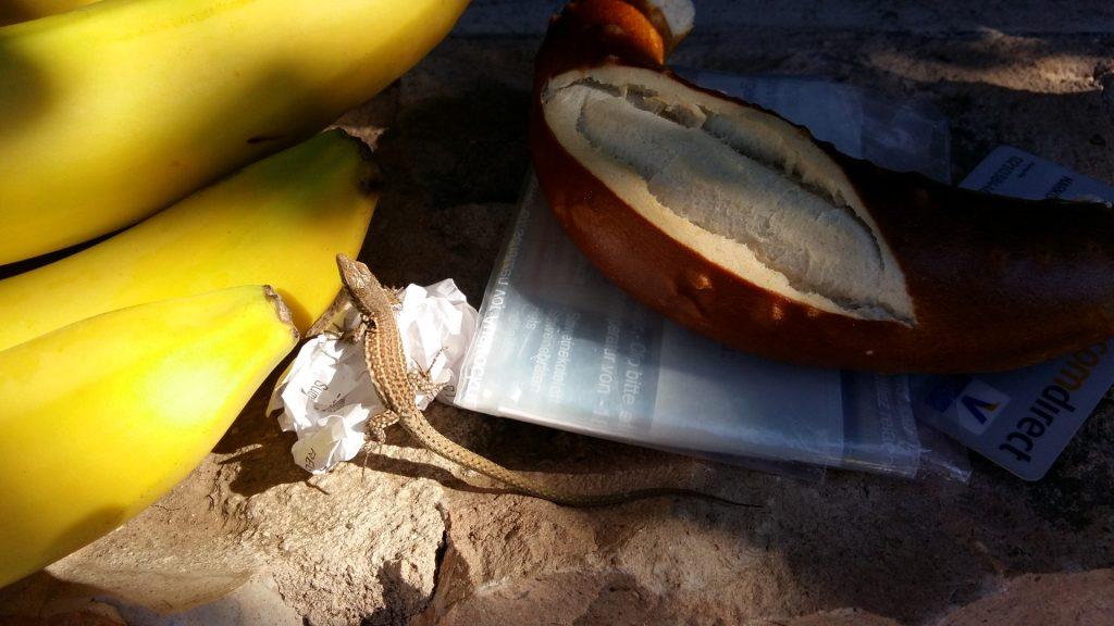 Eidechse Salamander Ibiza