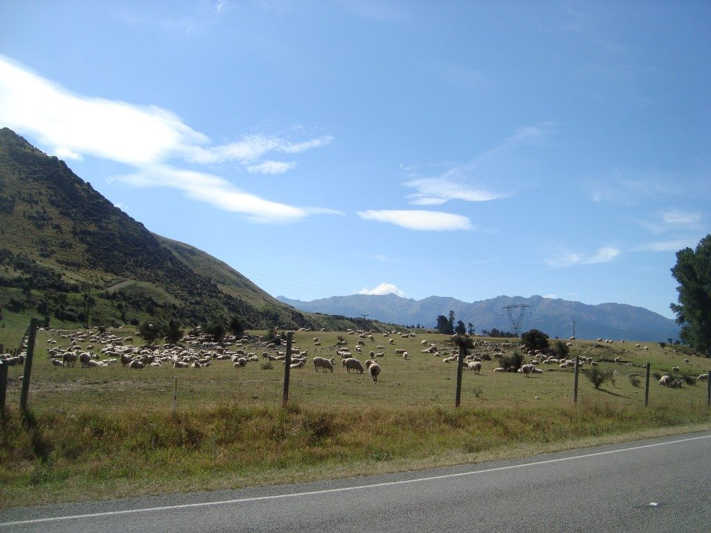 Schaf Schafe Hanmer Springs Südinsel Neuseeland