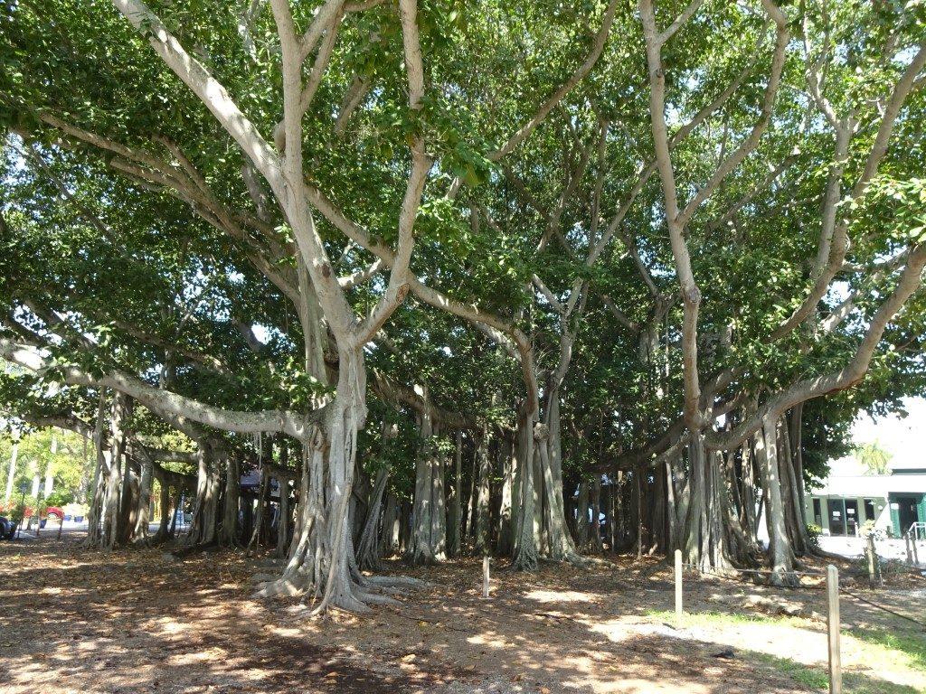 Banyan Baum Tree Stämme Edison Ford Winterresidenz Fort Myers Florida