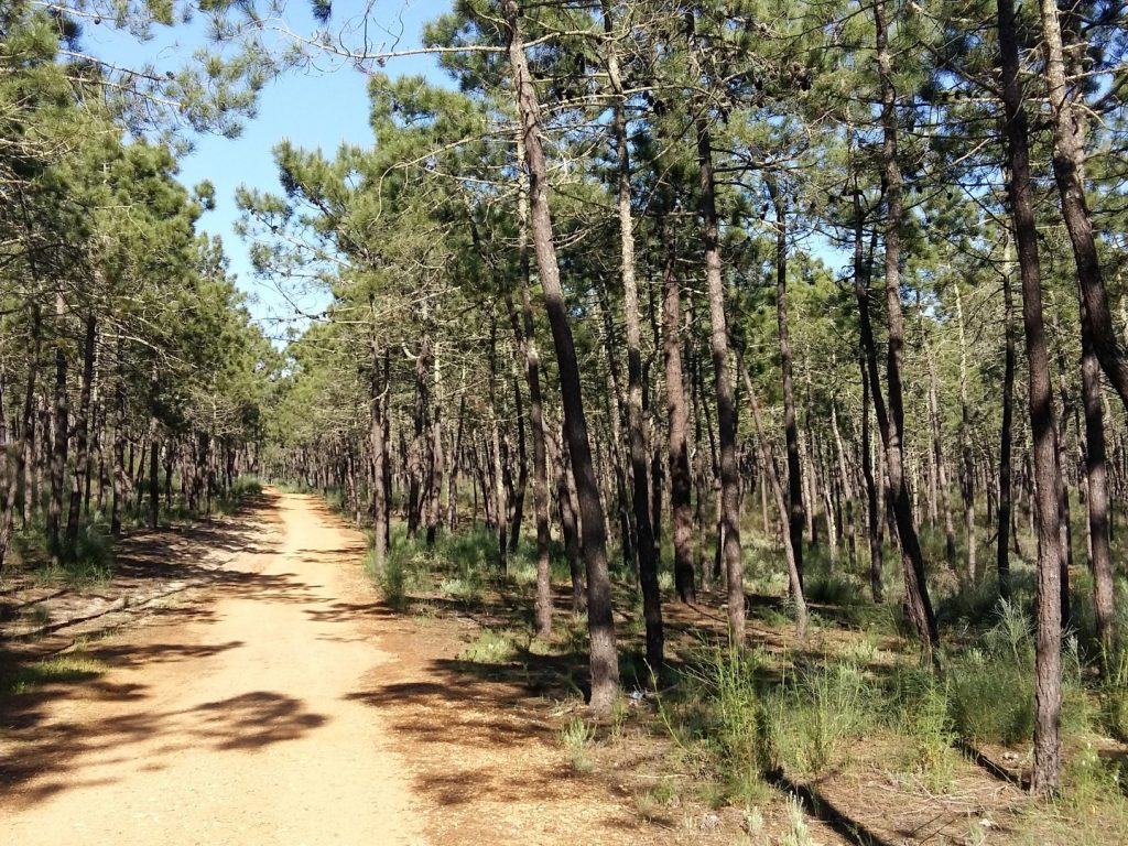Pinienwald Joggen Laufen Monte Gordo Algarve Portugal