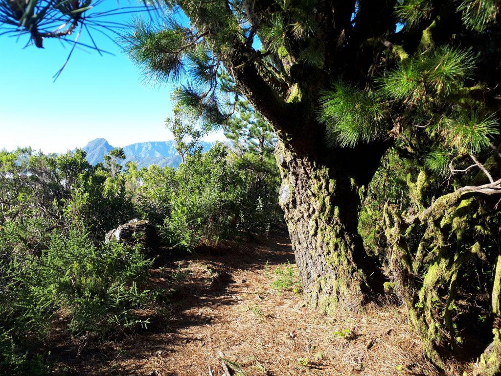 Lorbeerwald Transvulcania Trail La Palma Kanaren