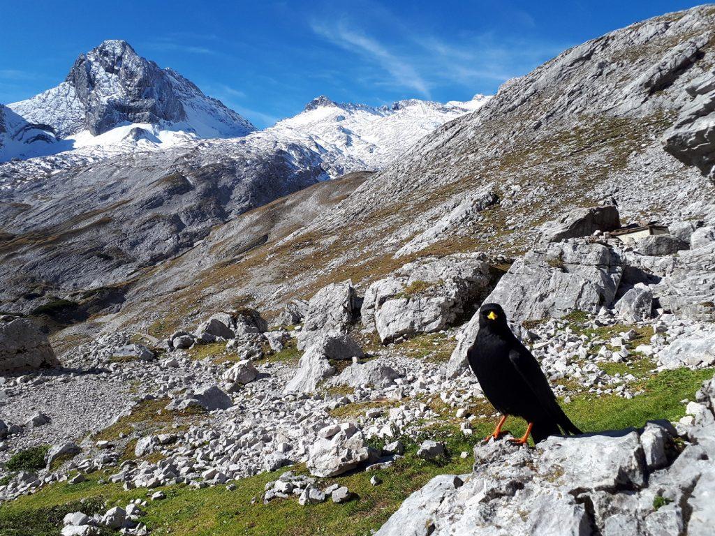 Alpendohle Knorrhütte Gatterl Tour Zugspitze Alpen