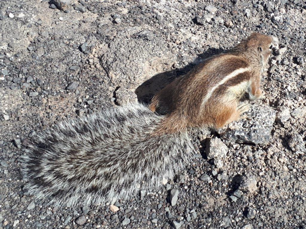 Barbary Ground Squirrel Eichhörnchen Schwanz Kanaren