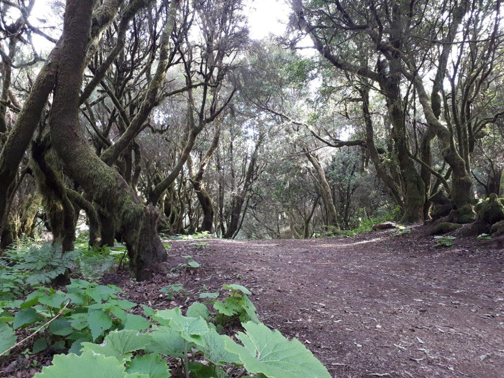 La Lania Trail Wanderweg Märchenwald El Hierro Kanaren