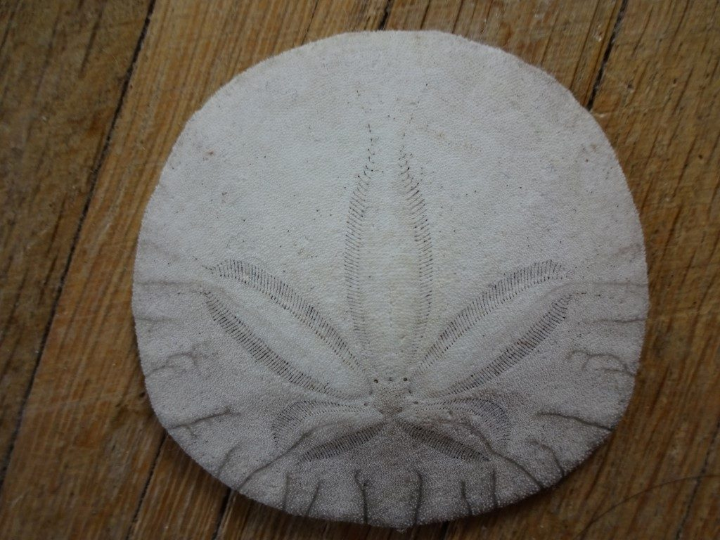 Sand Dollar Pansy Shell Muschel