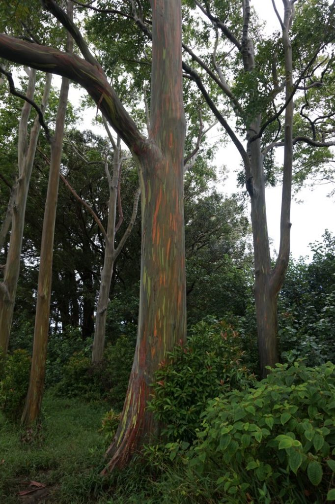 Eucalyptus Deglupta Road to Hana Maui Hawaii