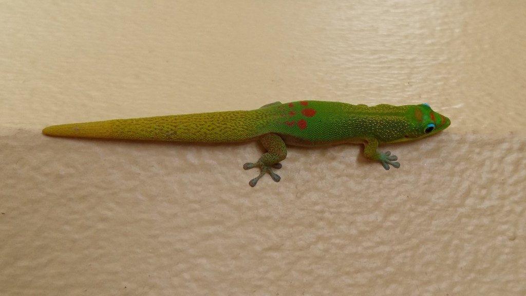 Gecko Hawi Big Island Hawaii
