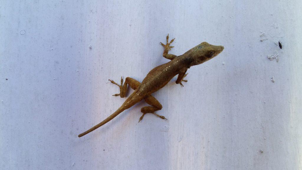 Gecko Fliege Jamaika