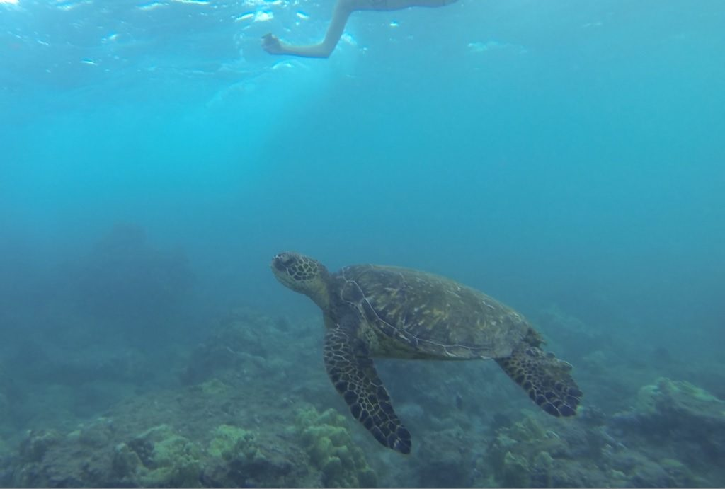 Schildkröte Maluaka Beach Maui Hawaii