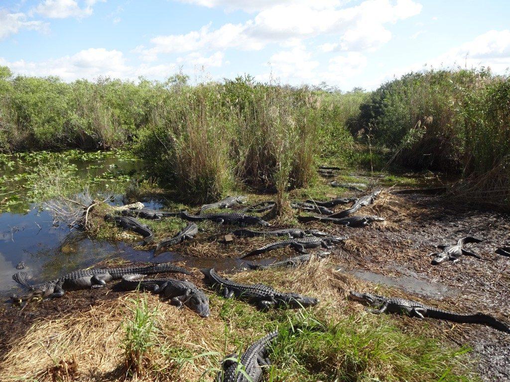 Alligator Krokodil Anhinga Trail Everglades Nationalpark Florida