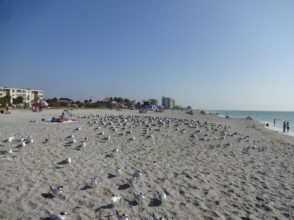 Möwe Strand Gang Meute Futter Florida