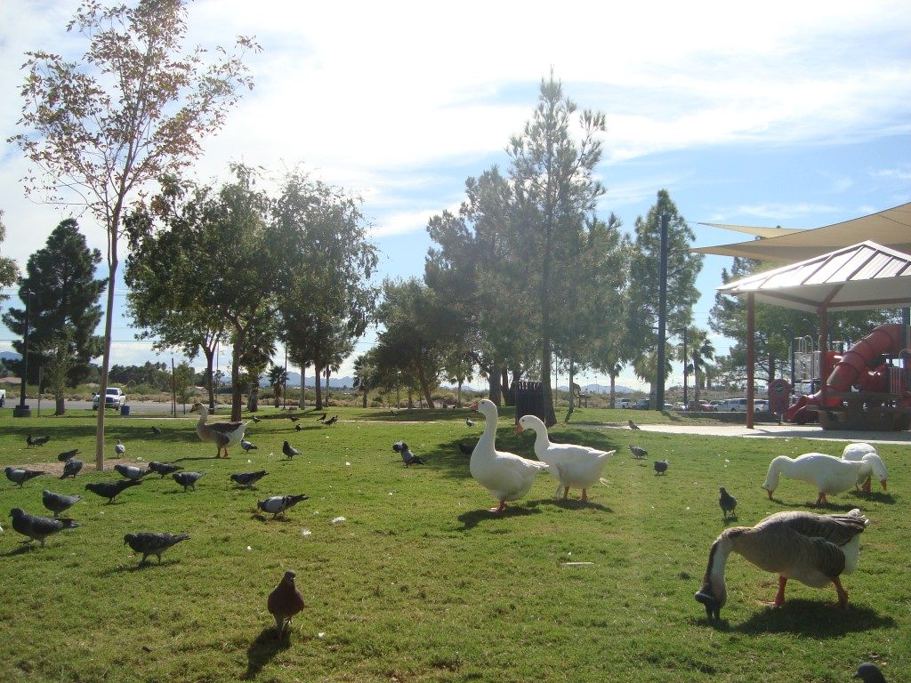 Sunset Park Las Vegas Enten Nevada