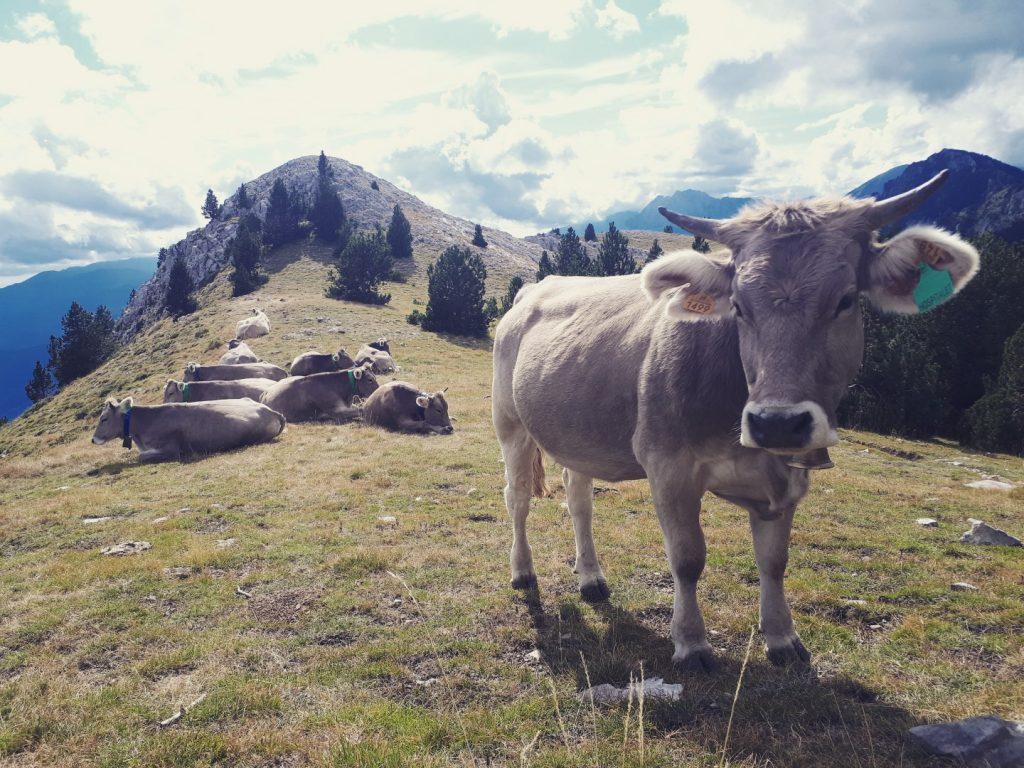 Kuh Kühe Moixero Naturpark