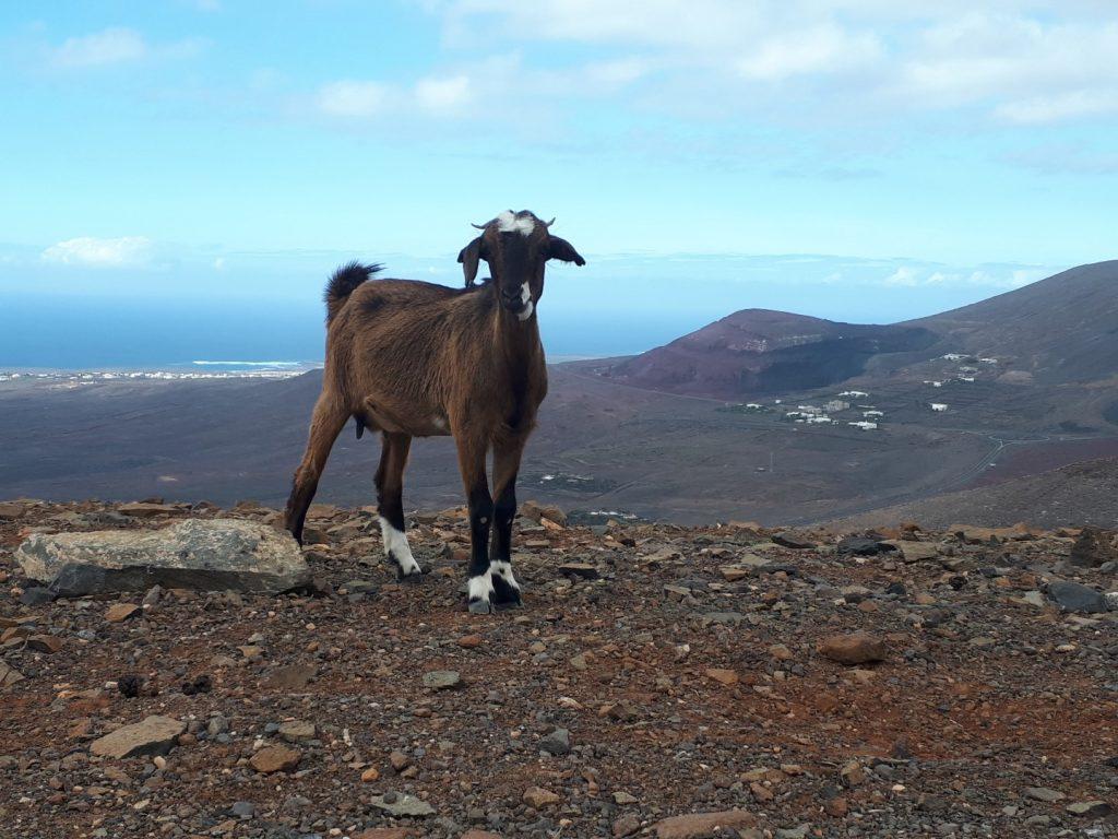 Bergziege Lanzarote Kanaren