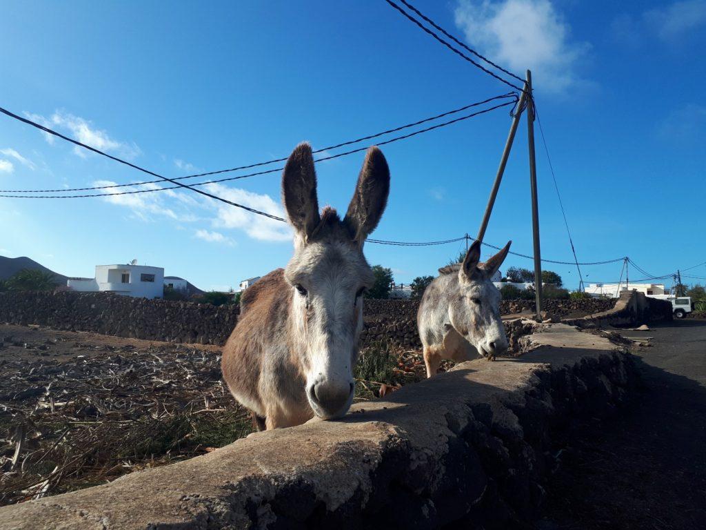 Esel Lajares Fuerteventura Kanaren