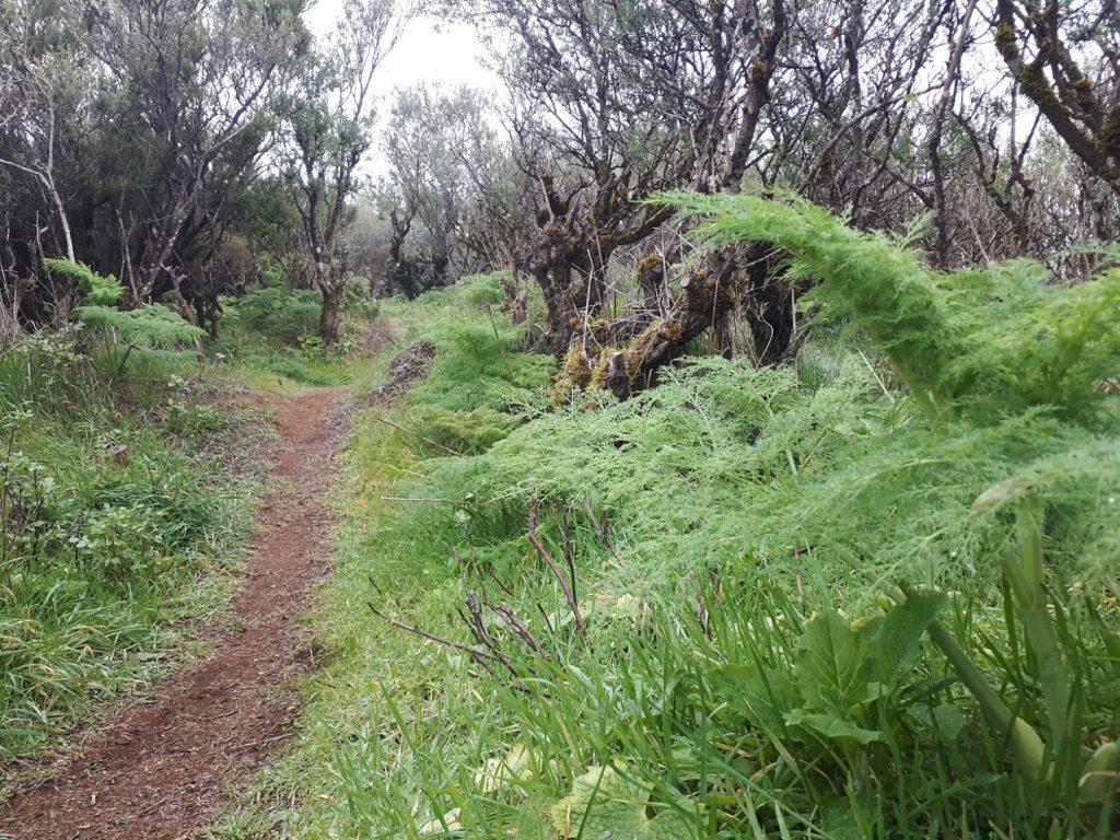 Trail Wanderweg Märchenwald El Hierro Kanaren