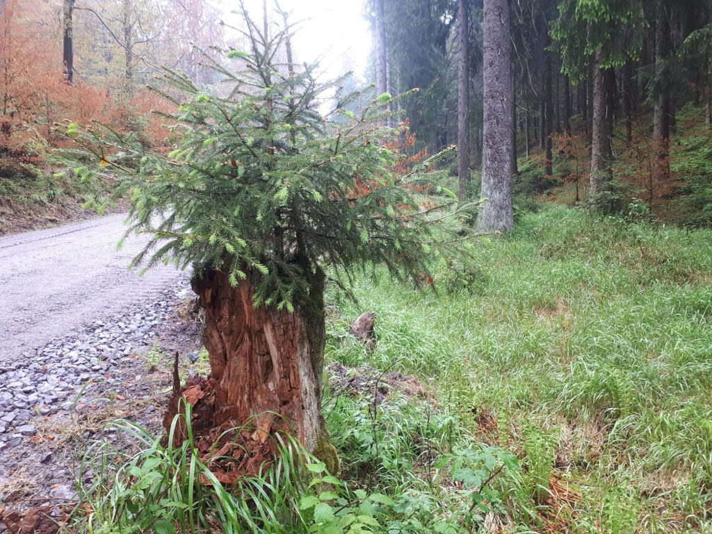 Leben findet Weg Wald Baum Baumstumpf