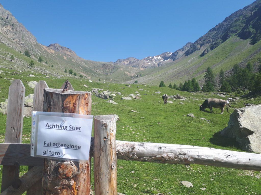 Stier Kühe Südtirol Italien Ötztaler Alpen