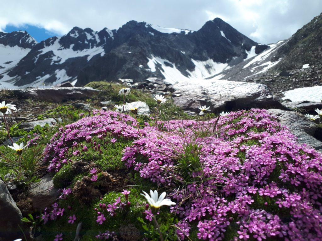 Bergblumen Stubai Stubaital Österreich Alpen