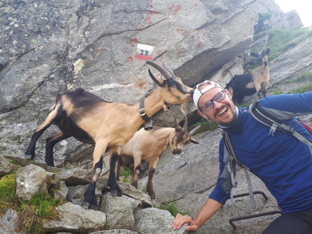 Bergziegen Texelgruppe Südtirol Italien Alpen