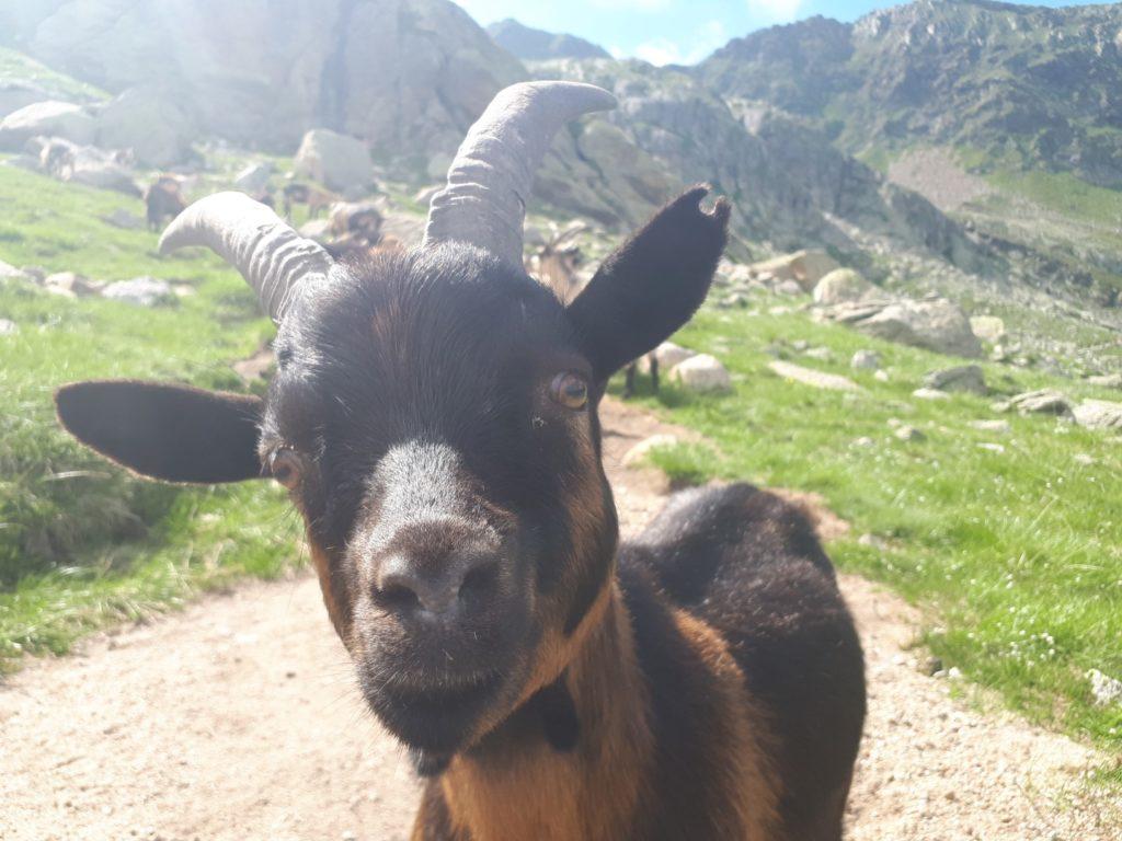 Bergziege Texelgruppe Südtirol Italien Alpen