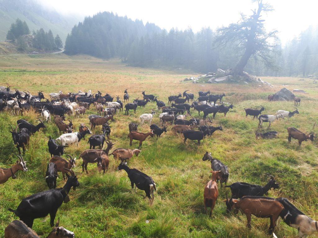Ziegen Herde Tessin Schweiz