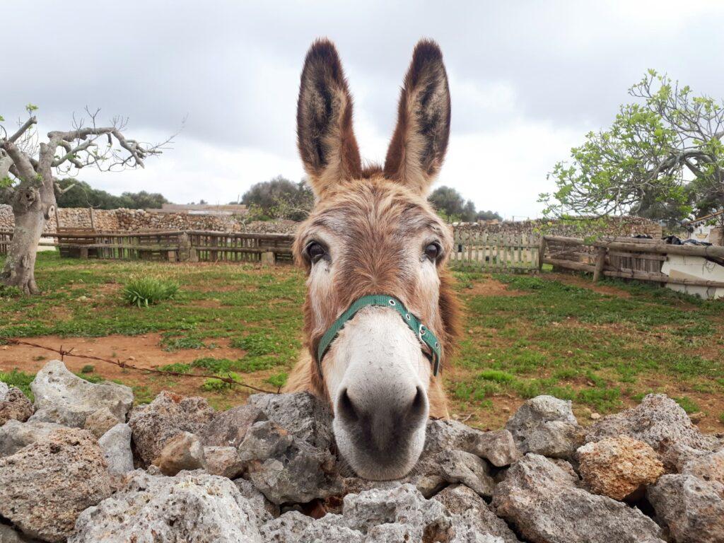 Esel Alaior Menorca