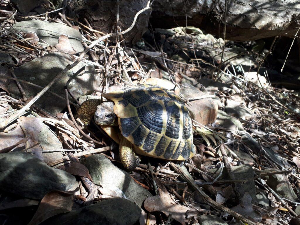 Schildkröte Cami de Cavalls Menorca
