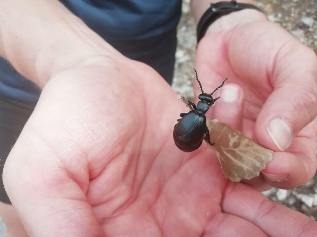 großer schwarzer Käfer Mallorca