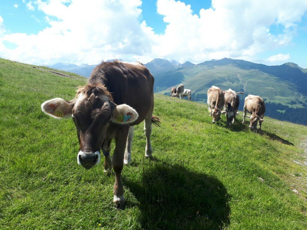 Kuh Wiese Berge Schweiz